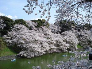 Chidorigafuchi_sakura